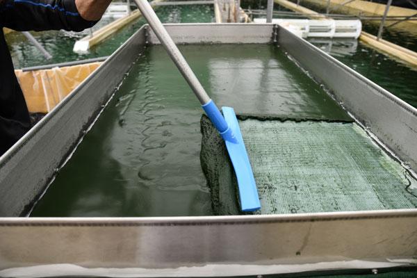 Récolte artisanale et filtrage de la spiruline